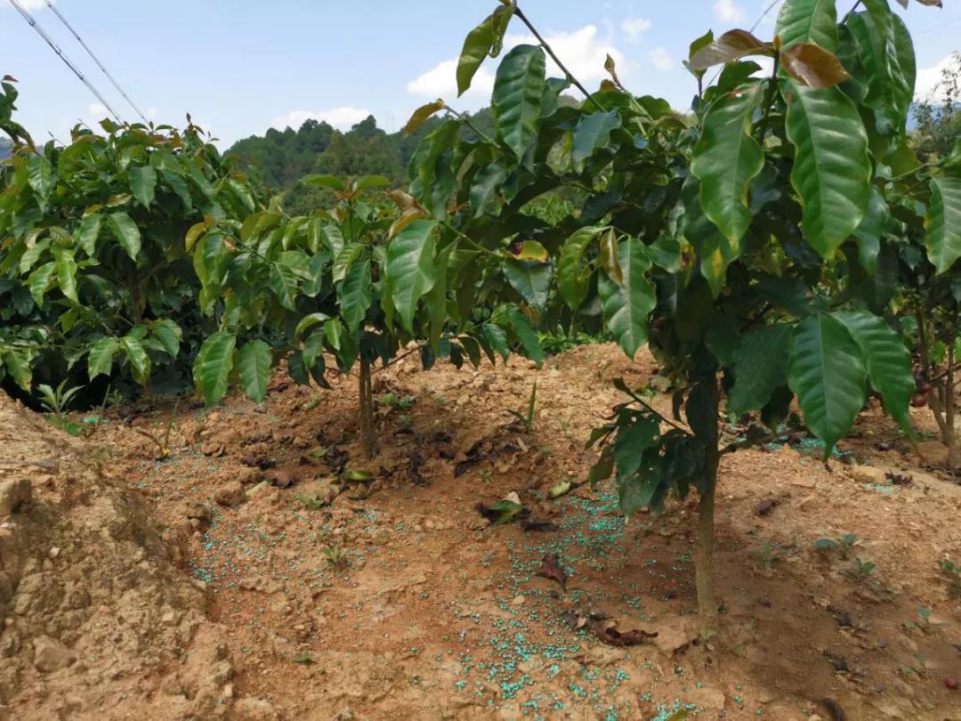 咖啡施肥技术