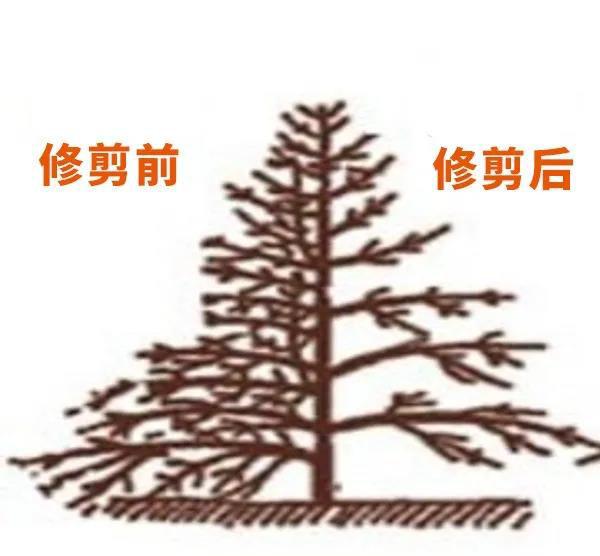 咖啡树修剪技术
